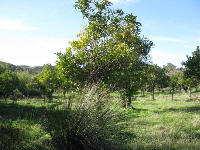 Terreno Agrícola com 1180m2 Junqueira Azinhal Castro Marim - regadio, árvores de fruto, bons acessos, laranjeiras